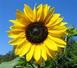 Raw-Foods-Sunflower-www.diana2.com